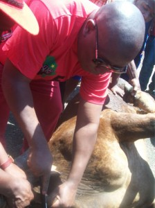 Commander in Chief of EFF, Julius Malema slaughters cow ahead of the national launch of his organisation. – image – Ntokozo Sindane